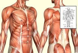 Anatomy Of Human Body Pdf Human Body Muscle Anatomy Pdf Human Body Human Anatomy Charts