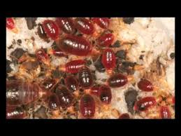 Why Do Bed Bugs Come Out At Night Bed Bugs Attack Youtube