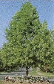 omaha nebraska cypress trees arbor trees