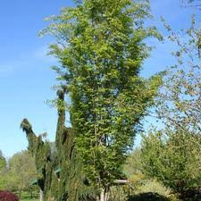 Green Vase Japanese Zelkova Trees From Neil Vanderkruk Holdings Inc