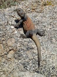 sauromalus ater common chuckwalla reptiles and amphibians i u0027d