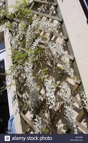 white wisteria sinensis alba in flower climbing on trellis stock