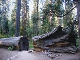 hercules tree calaveras big trees state park california