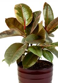 indoor plants india top 5 easy care hard to kill plants
