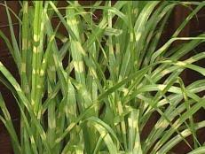 dividing ornamental grasses diy