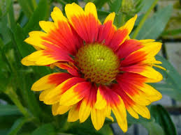 gaillardia aristata common blanket flower world of flowering