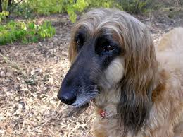 afghan hound arizona animal reincarnation love never dies nancy windheart