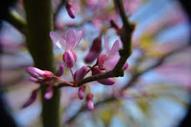 cercis u2013 the best tree for the may garden greenbenchramblings