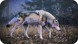 wolf meaning