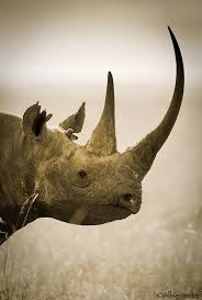difference between thanksgiving and christmas top 10 differences between the 5 rhino species top inspired