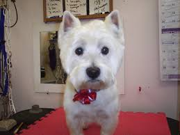 images of westie hair cuts the healthy dog short hair cut on a westie west highland terrier