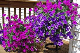balkon blumen welche balkonpflanzen für sonnigen balkon wählen