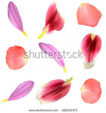 flower petals flower petals stock images royalty free images vectors