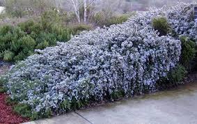 rosmarinus officinalis lavandulaceous trailing rosemary or santa
