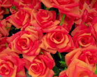 Fake Roses Fake Roses Bunch Stock Photos Image 22820823