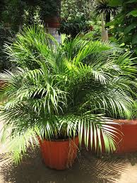 palm sunday palms for sale 35 best palm trees images on palm trees palms and