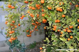 a backyard bursting with citrus clementine bean