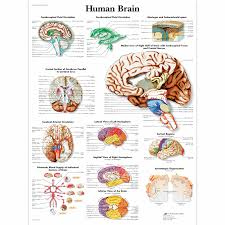 photos brain diagrams anatomy human anatomy diagram