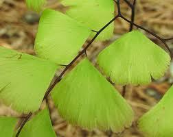 adiantum pedatum northern maidenhair fern go botany