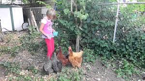 backyard chickens eating blueberries youtube