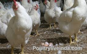 Backyard Poultry In India Poultry Farming Lures Kashmir Entrepreneurs Poultry Live India