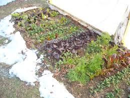 winter garden update u2013 1 5 13 the year round harvest