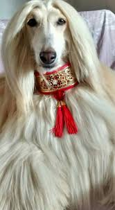 afghan hound walking afghan hound looking regal in a jeweled collar note this wide