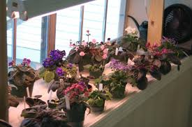 african violet grow light may i see your african violet displays african violets