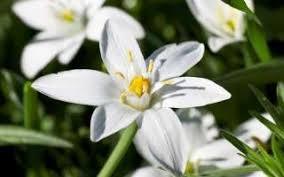 of bethlehem flower bach flower essence of bethlehem is used to treat shock