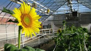 how the russians saved america u0027s sunflower the salt npr