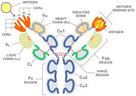 heavy chain light chain immunology is a variable domain in immunoglobulin s heavy chain