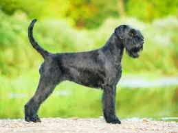schnauzers hair cuts grooming styles for the schnauzer pets4homes