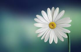 free photo marguerite beautiful free image on pixabay
