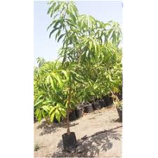 mango tree manufacturers suppliers of aam tree aamb tree