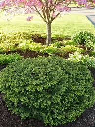 Small Shrubs For Front Yard - 206 best evergreens for small yards images on pinterest plant