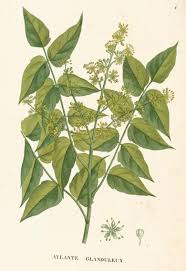 a modern herbal tree of heaven