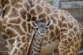 Houston Zoo Lights Prices by Photos Houston Zoo Welcomes Baby Giraffe Khou Com