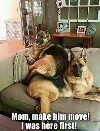 Funny German Shepherd Memes - image result for funny german shepherd memes germanshepherd