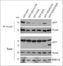 Anti Flag Affinity Gel Rho Gdp Dissociation Inhibitor 2 Suppresses Metastasis Via