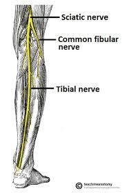 Nerves In The Knee Anatomy Nerves Of The Lower Limb Teachmeanatomy