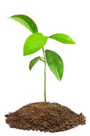 transplanting volunteer saplings thriftyfun