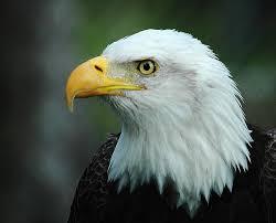 Bald Eagle On Flag Bald Eagle American Flag Pictures Download