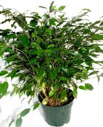 large ficus tree live 8 pot for sale