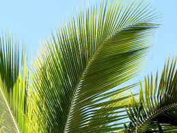 palm tree leaf free image peakpx