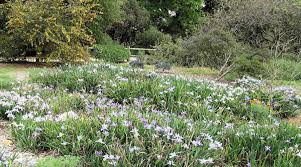 Santa Ana Botanic Garden by Spcni Douglas Iris In Old San Francisco