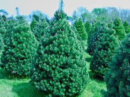 scotch pine christmas tree delaware christmas tree growers association firs spruces and pines
