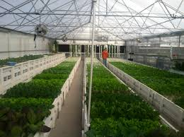 a guide to planning a commercial aquaponics greenhouse ceres