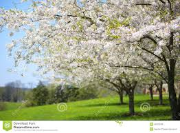 Trees With White Flowers Tree With White Spring Blossoms Of Cherry In The Garden Stock