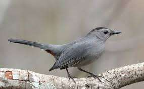 alarming number of fledgling suburban catbirds fall prey to