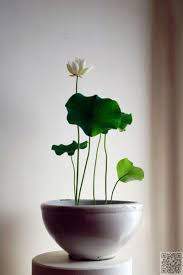 18 lotus minor 27 awesome indoor houseplants to brighten up